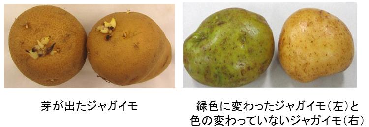 ジャガイモの写真